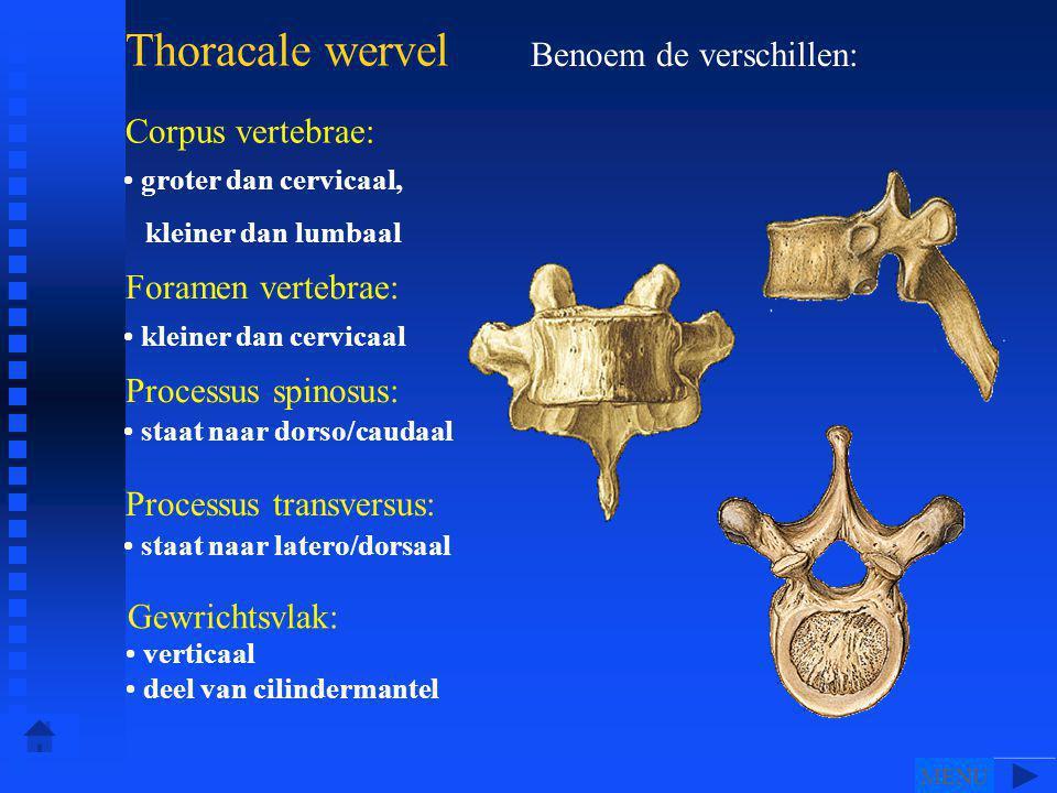 Thoracale wervel Benoem de verschillen: Corpus vertebrae: