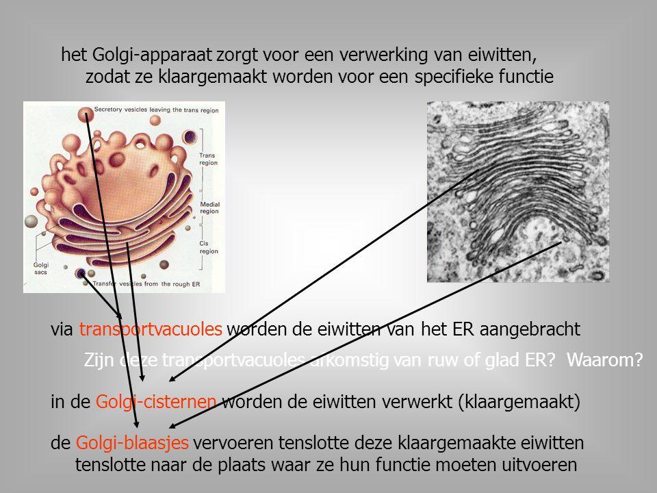 het Golgi-apparaat zorgt voor een verwerking van eiwitten, zodat ze klaargemaakt worden voor een specifieke functie
