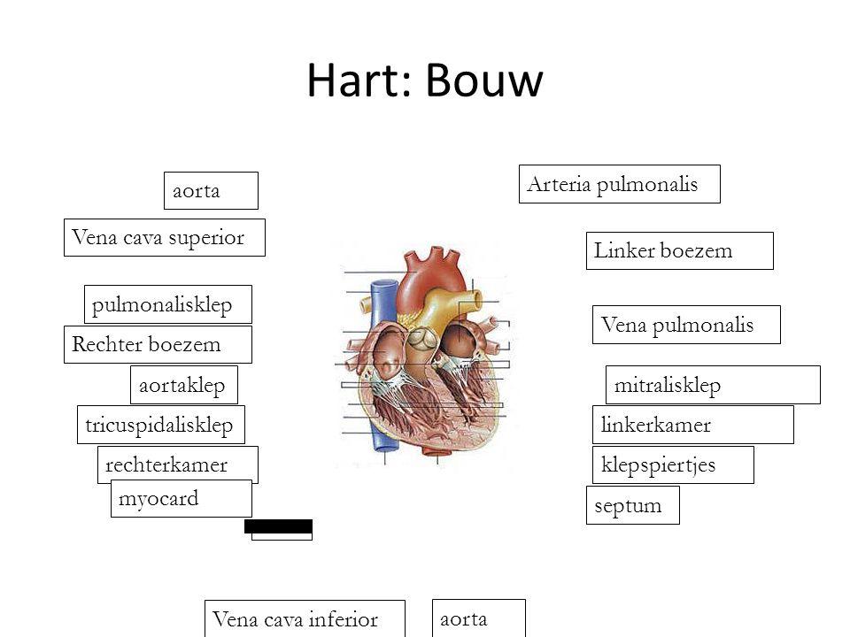 Hart: Bouw Arteria pulmonalis aorta Vena cava superior Linker boezem