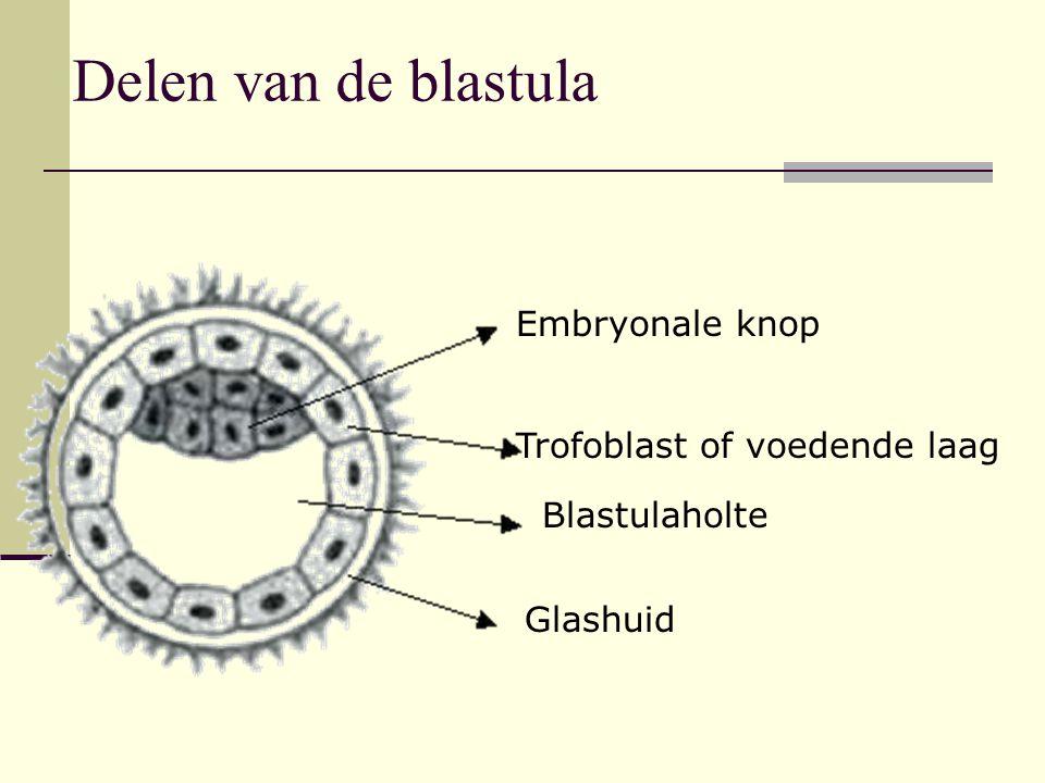 Delen van de blastula Embryonale knop Trofoblast of voedende laag