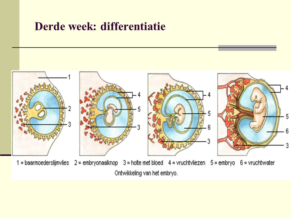 Derde week: differentiatie