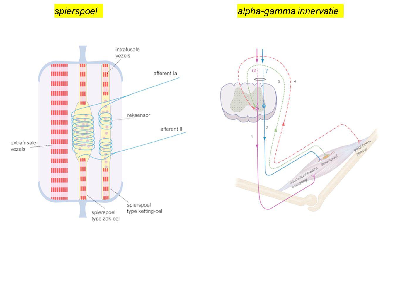 spierspoel alpha-gamma innervatie
