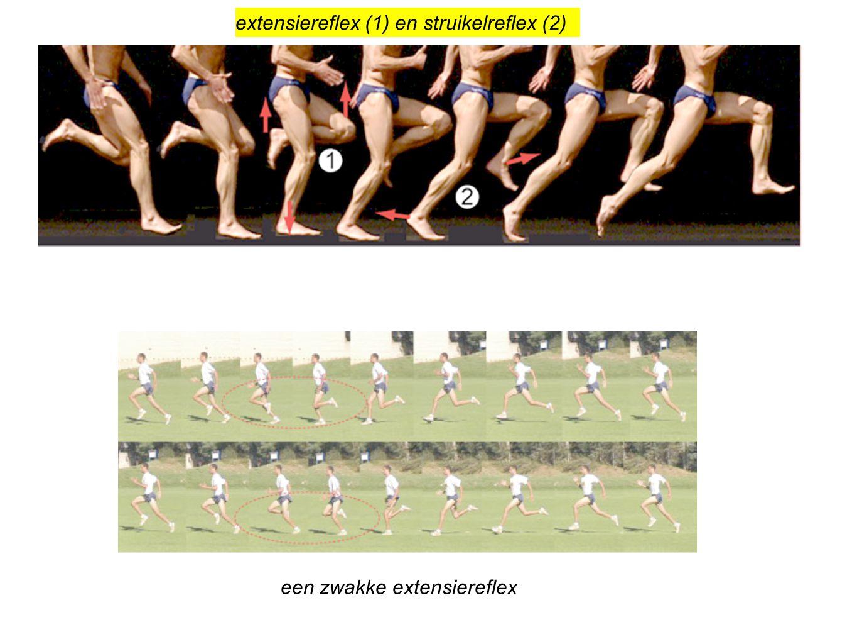 extensiereflex (1) en struikelreflex (2)