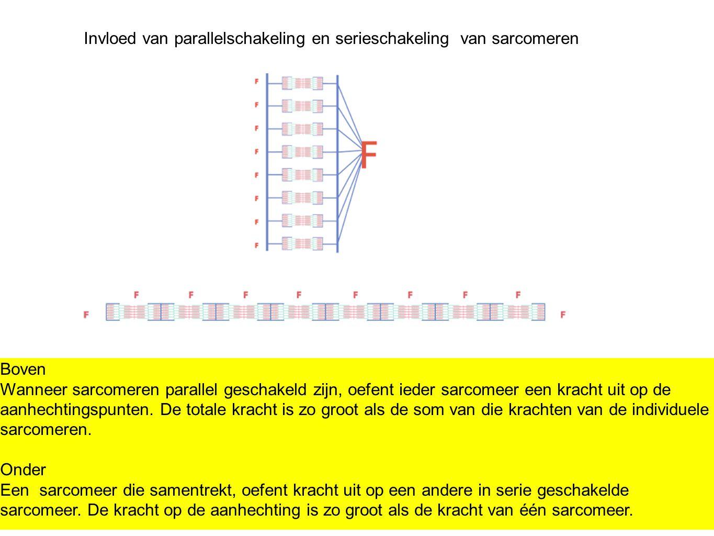 Invloed van parallelschakeling en serieschakeling van sarcomeren