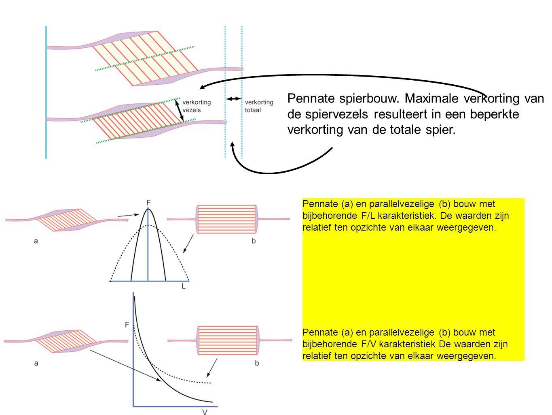 Pennate spierbouw. Maximale verkorting van de spiervezels resulteert in een beperkte verkorting van de totale spier.