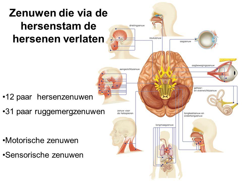 Zenuwen die via de hersenstam de hersenen verlaten