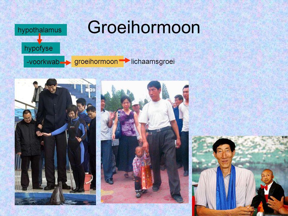 Groeihormoon hypothalamus hypofyse -voorkwab groeihormoon