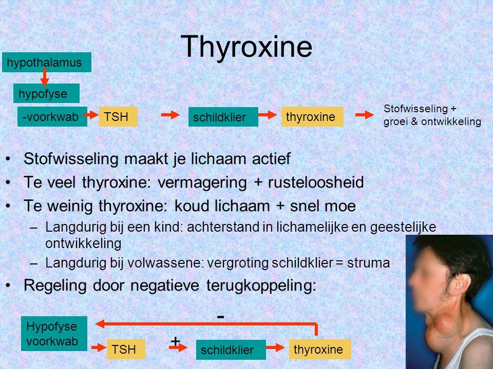 Thyroxine - + Stofwisseling maakt je lichaam actief