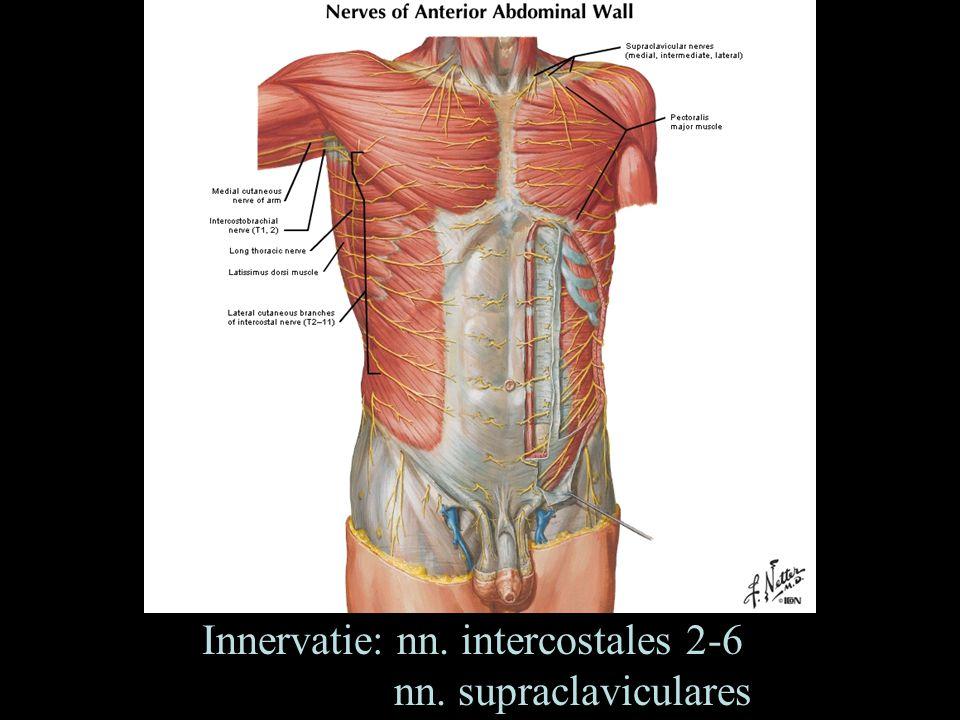 Innervatie: nn. intercostales 2-6