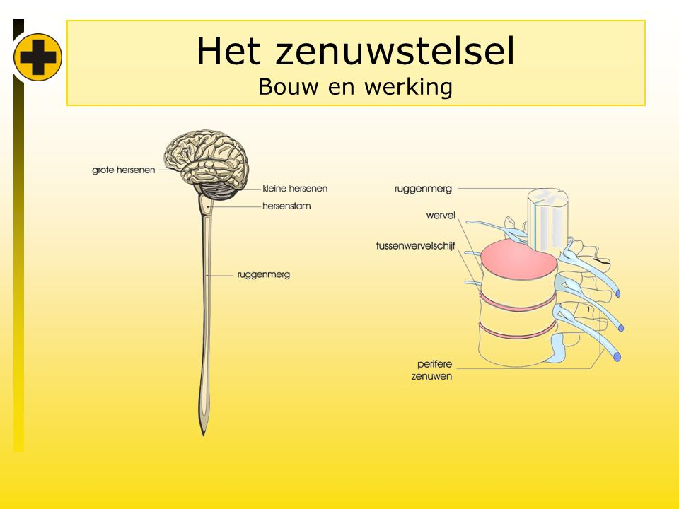 Het zenuwstelsel Bouw en werking