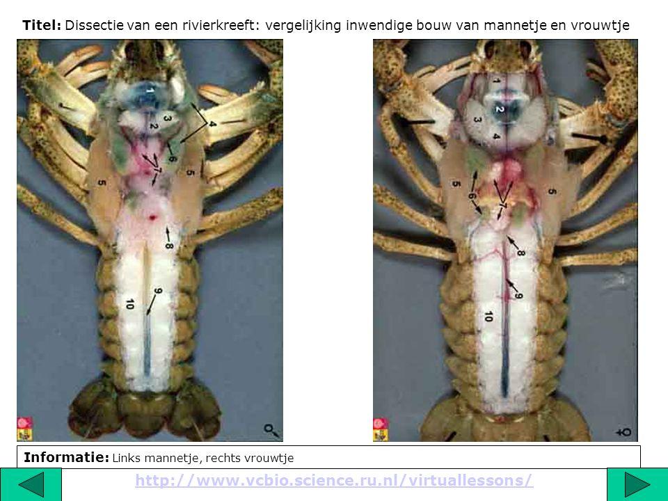 Titel: Dissectie van een rivierkreeft: vergelijking inwendige bouw van mannetje en vrouwtje