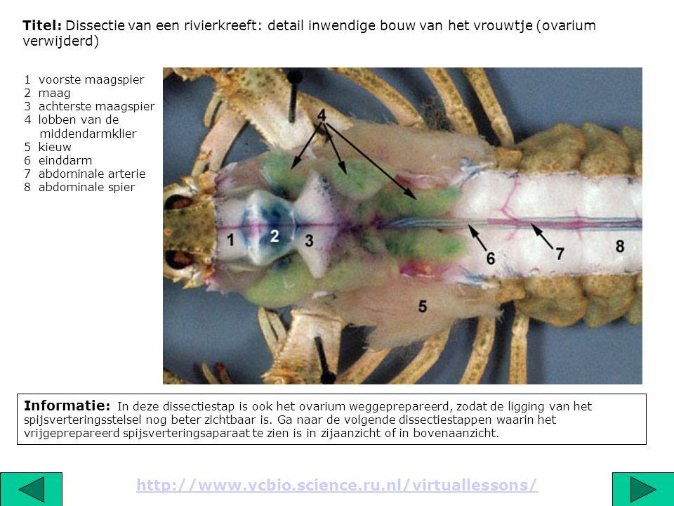 Titel: Dissectie van een rivierkreeft: detail inwendige bouw van het vrouwtje (ovarium verwijderd)