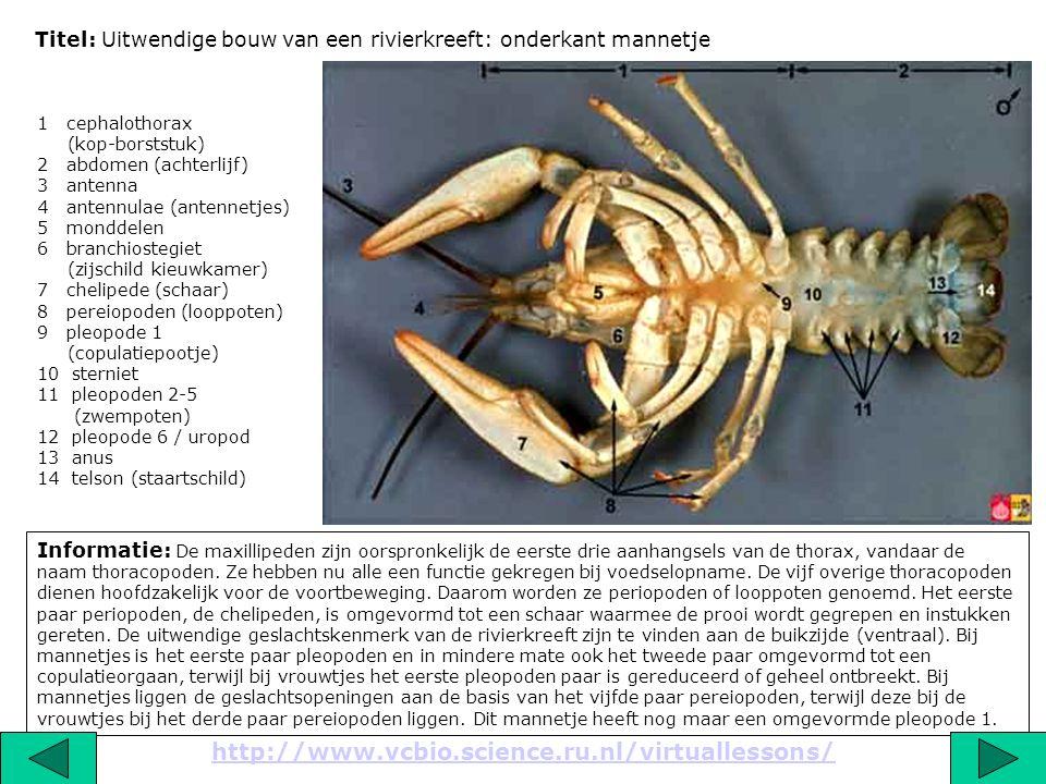 Titel: Uitwendige bouw van een rivierkreeft: onderkant mannetje