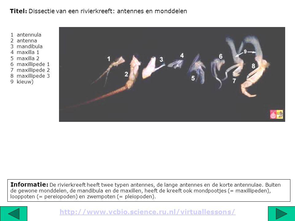 Titel: Dissectie van een rivierkreeft: antennes en monddelen