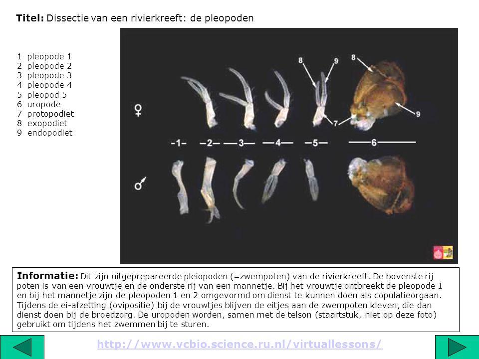 Titel: Dissectie van een rivierkreeft: de pleopoden