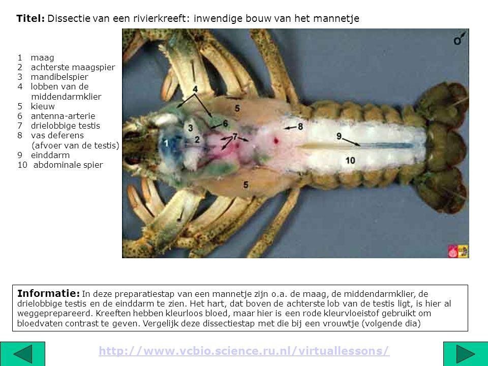 Titel: Dissectie van een rivierkreeft: inwendige bouw van het mannetje