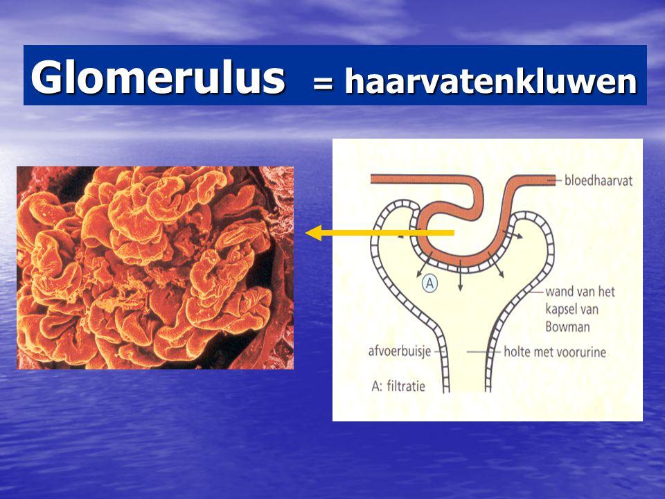 Glomerulus = haarvatenkluwen