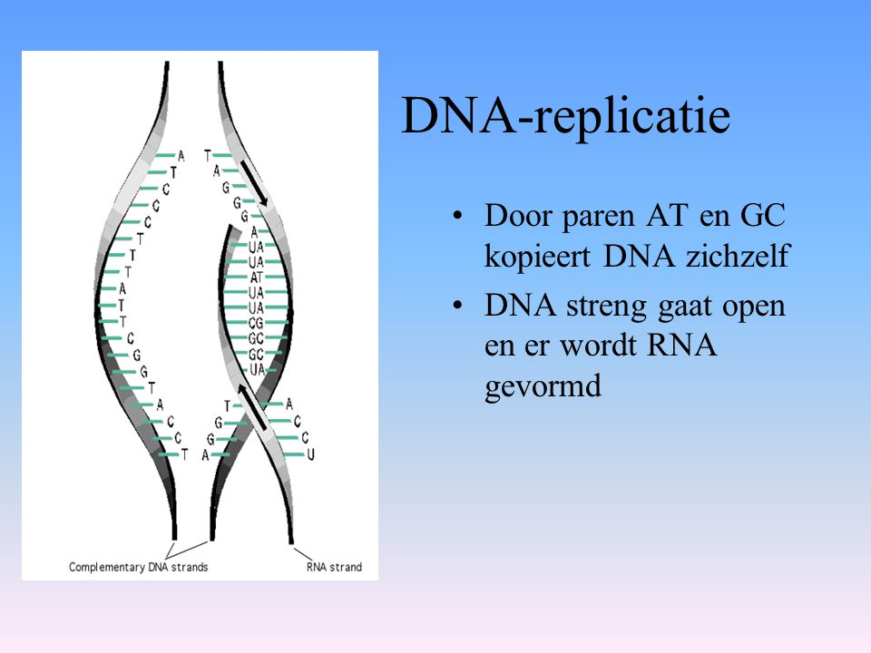 DNA-replicatie Door paren AT en GC kopieert DNA zichzelf