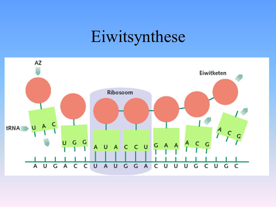 Eiwitsynthese