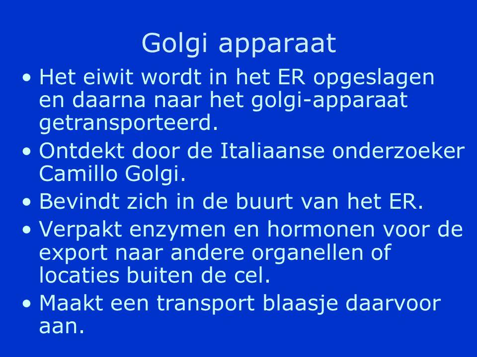 Golgi apparaat Het eiwit wordt in het ER opgeslagen en daarna naar het golgi-apparaat getransporteerd.
