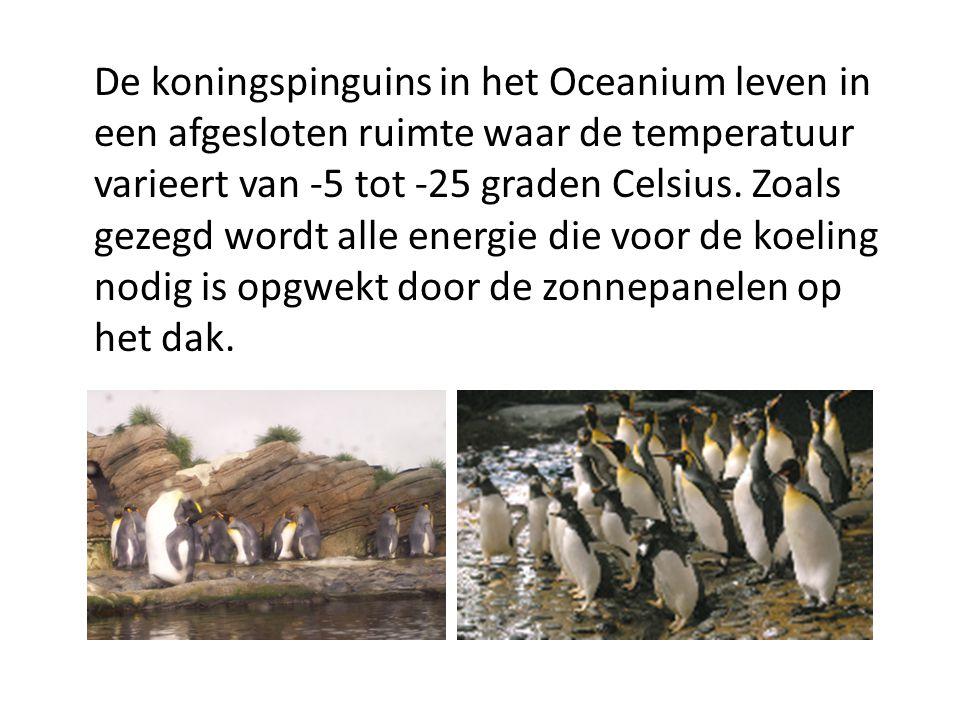 De koningspinguins in het Oceanium leven in een afgesloten ruimte waar de temperatuur varieert van -5 tot -25 graden Celsius.