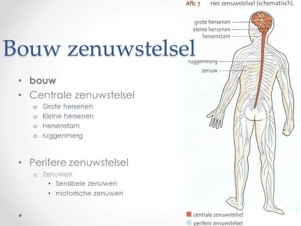 Bouw zenuwstelsel bouw Centrale zenuwstelsel Perifere zenuwstelsel