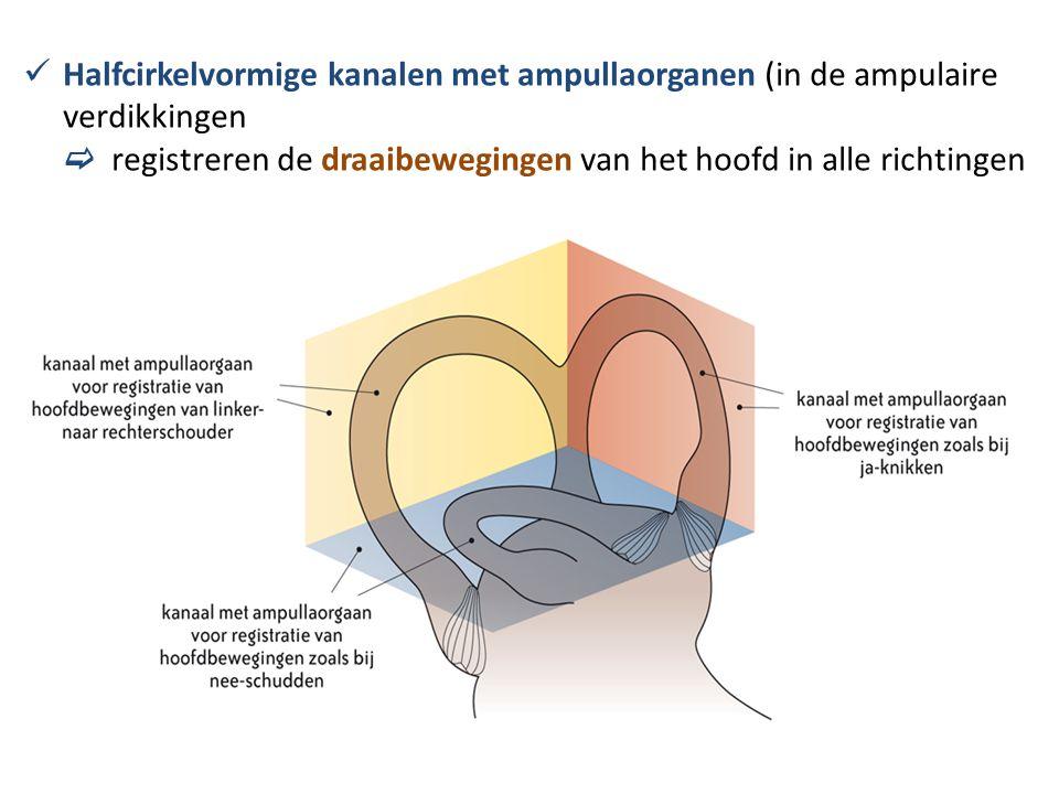 Halfcirkelvormige kanalen met ampullaorganen (in de ampulaire verdikkingen