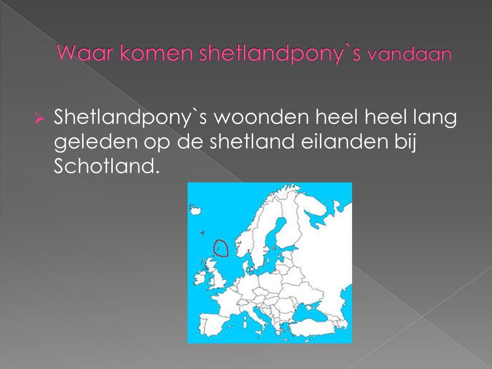 Waar komen shetlandpony`s vandaan