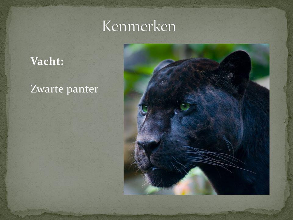 Kenmerken Vacht: Zwarte panter