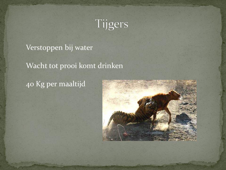 Tijgers Verstoppen bij water Wacht tot prooi komt drinken