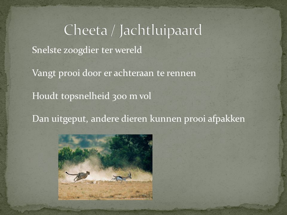 Cheeta / Jachtluipaard