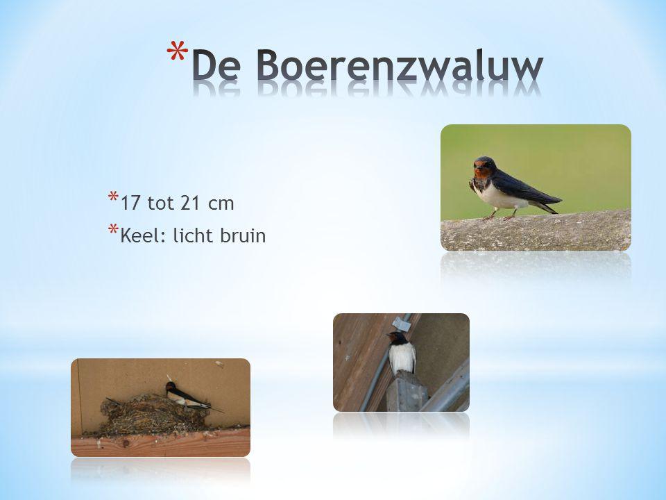 De Boerenzwaluw 17 tot 21 cm Keel: licht bruin DE BOERENZWALUW