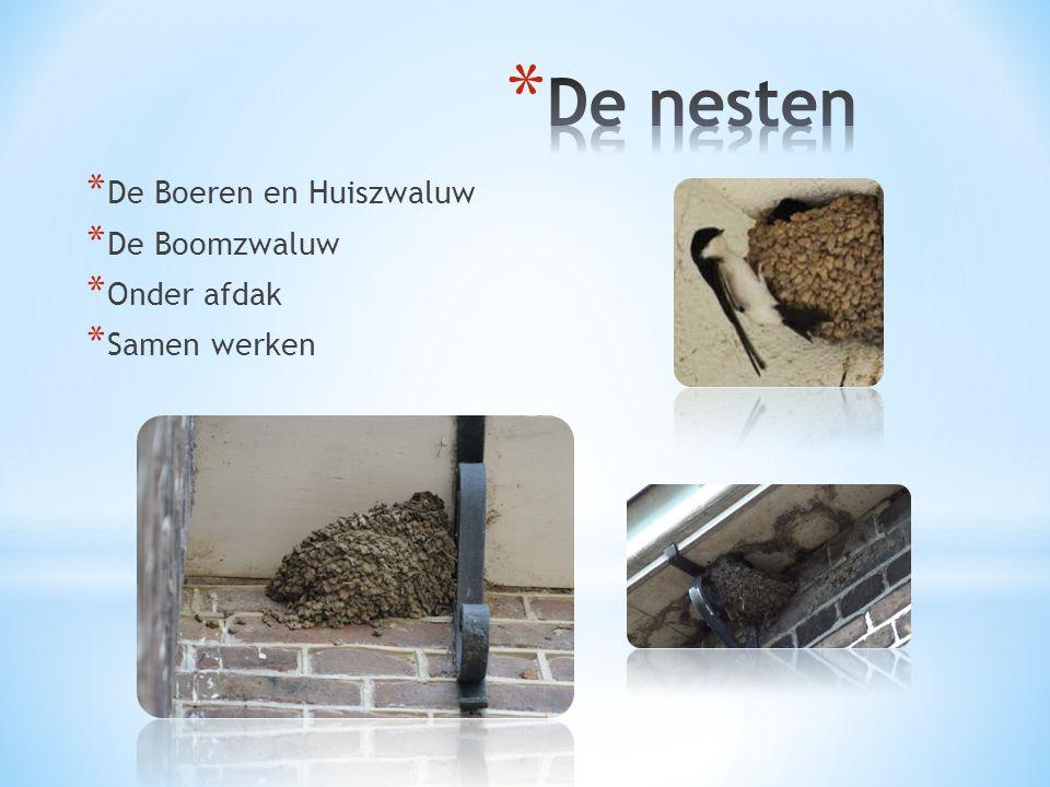 De nesten De Boeren en Huiszwaluw De Boomzwaluw Onder afdak