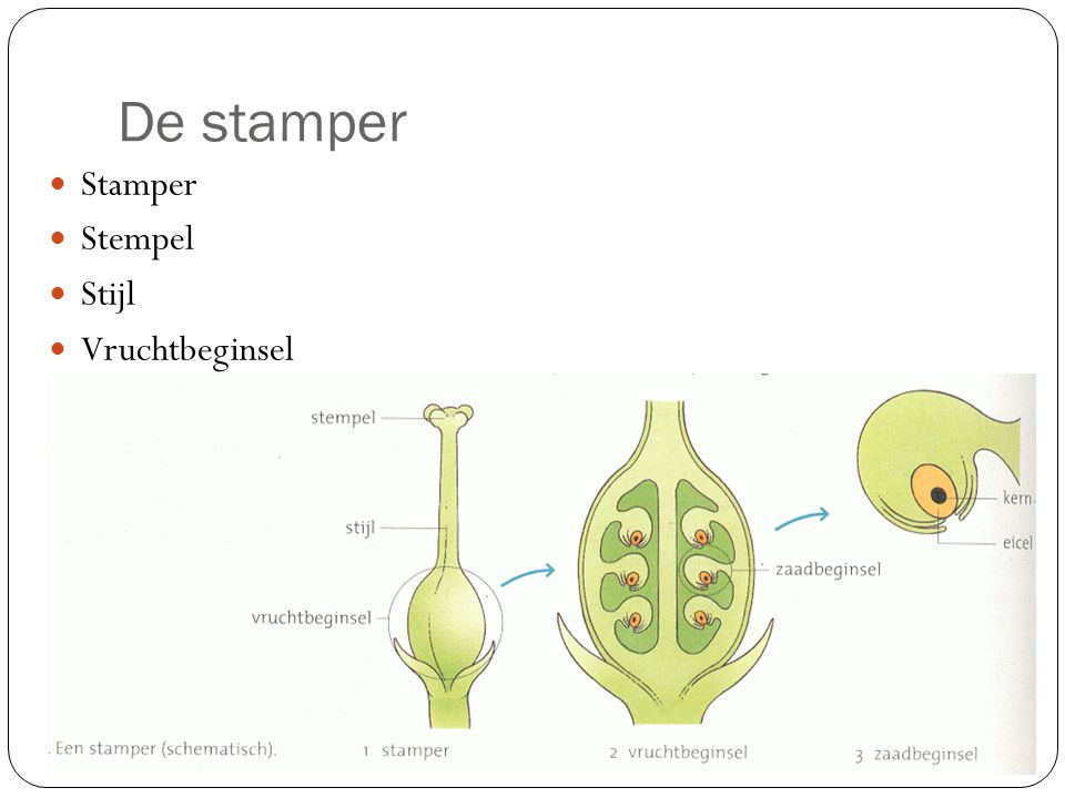 De stamper Stamper Stempel Stijl Vruchtbeginsel