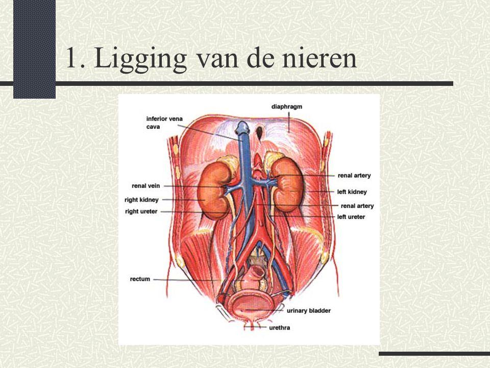 1. Ligging van de nieren