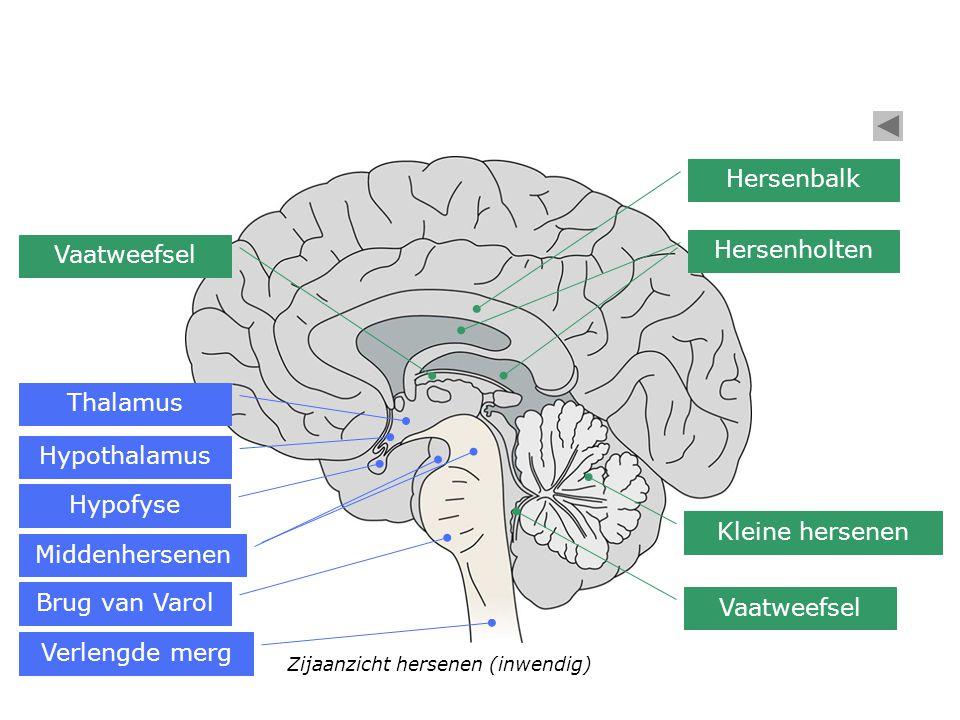 Hersenbalk Hersenholten Vaatweefsel Thalamus Hypothalamus Hypofyse
