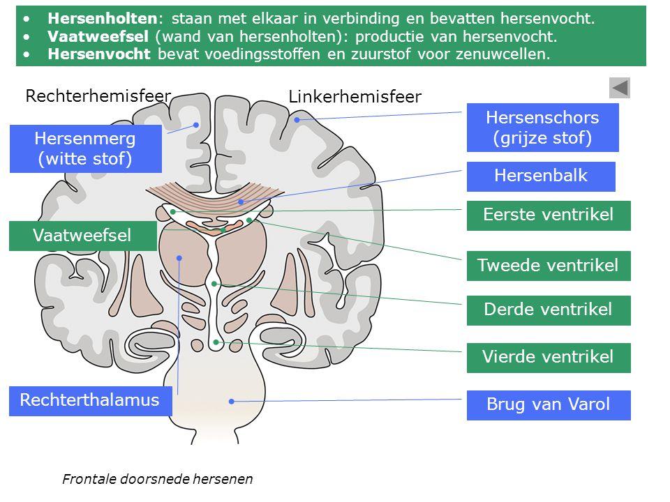 Hersenschors (grijze stof) Hersenmerg (witte stof)