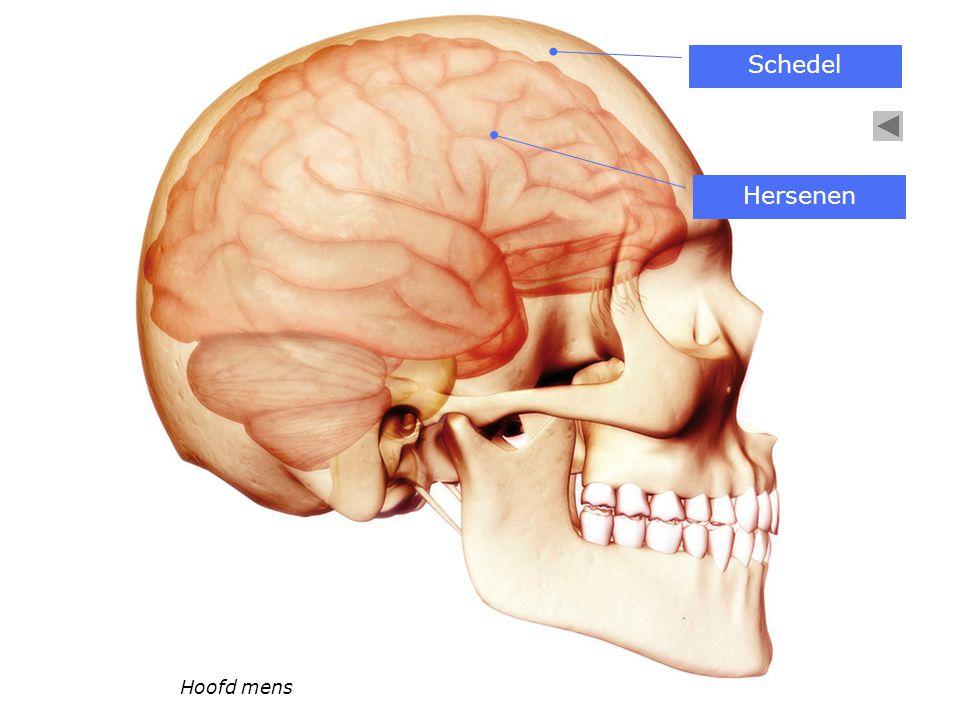 Schedel Hersenen Hoofd mens