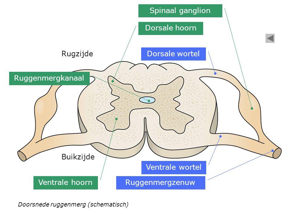 Spinaal ganglion Dorsale hoorn Rugzijde Dorsale wortel