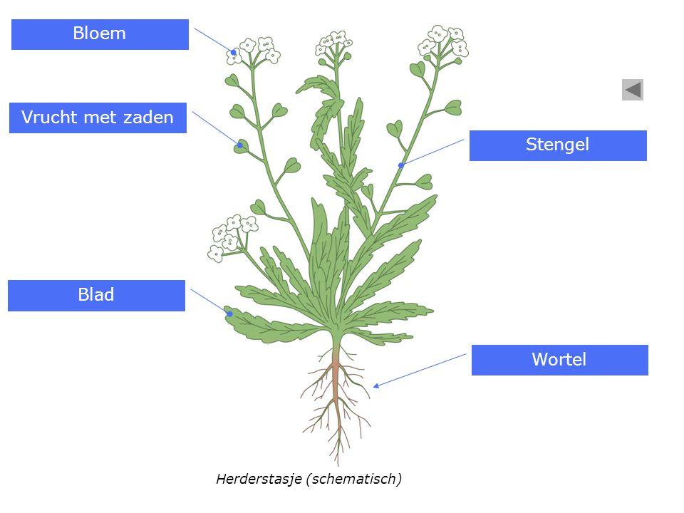 Bloem Vrucht met zaden Stengel Blad Wortel Herderstasje (schematisch)