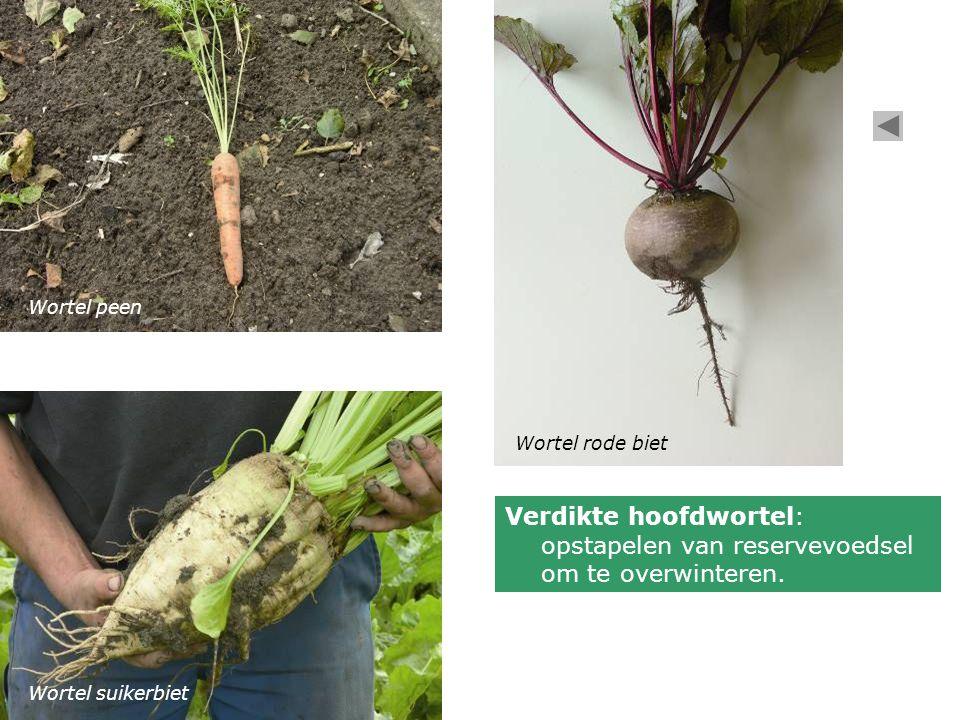 Wortel peen Wortel rode biet. Verdikte hoofdwortel: opstapelen van reservevoedsel om te overwinteren.