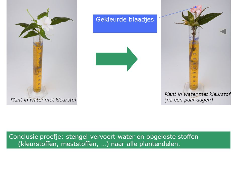 Gekleurde blaadjes Plant in water met kleurstof. (na een paar dagen) Plant in water met kleurstof.