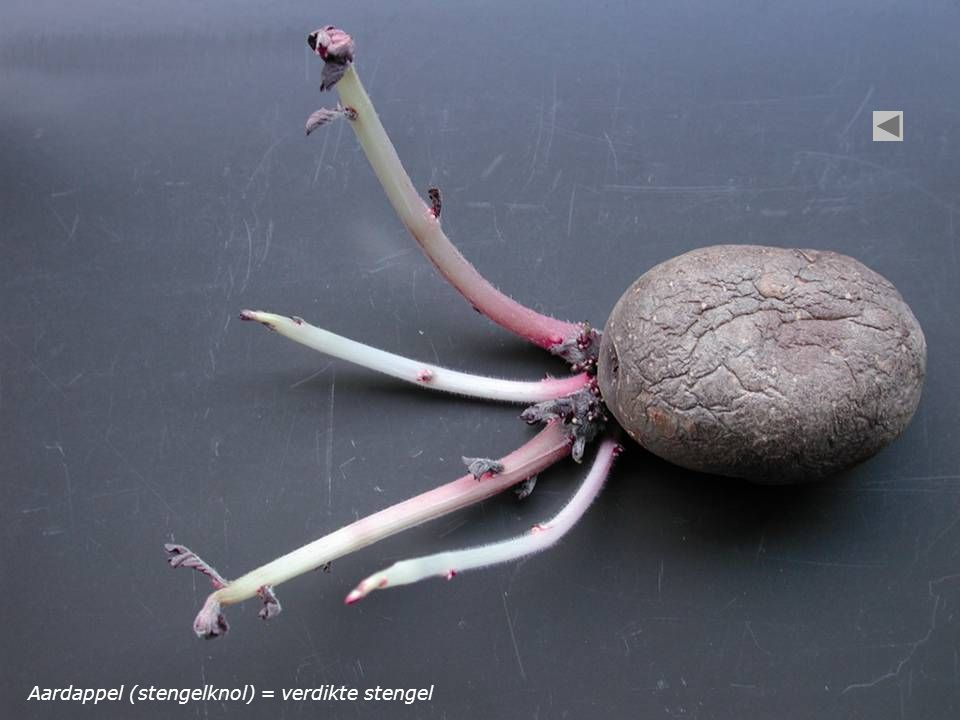 Aardappel (stengelknol) = verdikte stengel