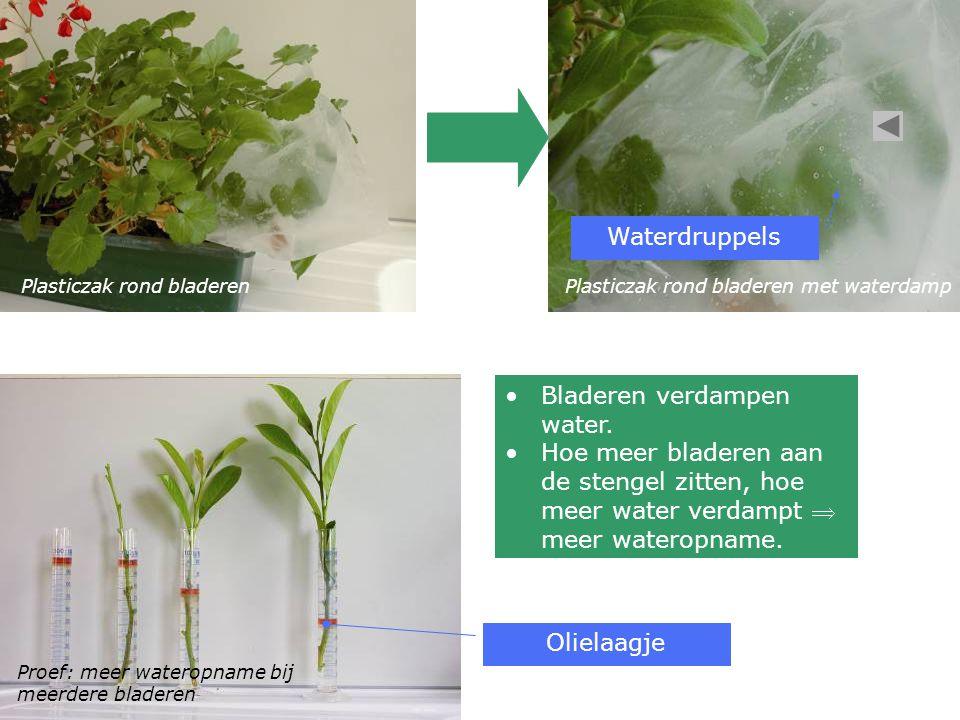 Bladeren verdampen water.