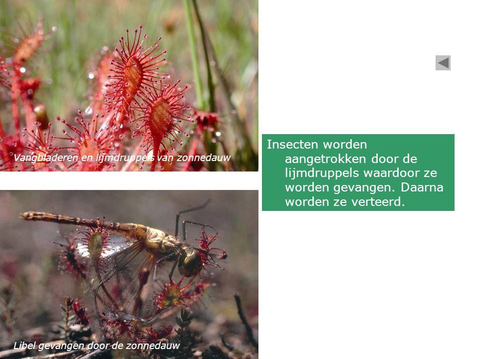 Insecten worden aangetrokken door de lijmdruppels waardoor ze worden gevangen. Daarna worden ze verteerd.