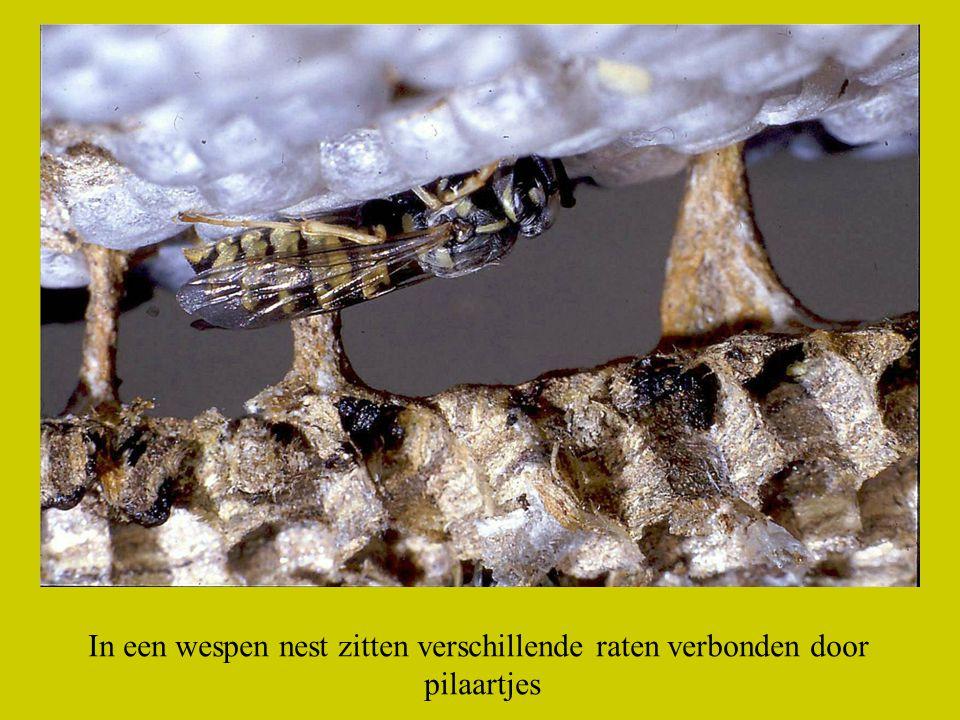 In een wespen nest zitten verschillende raten verbonden door