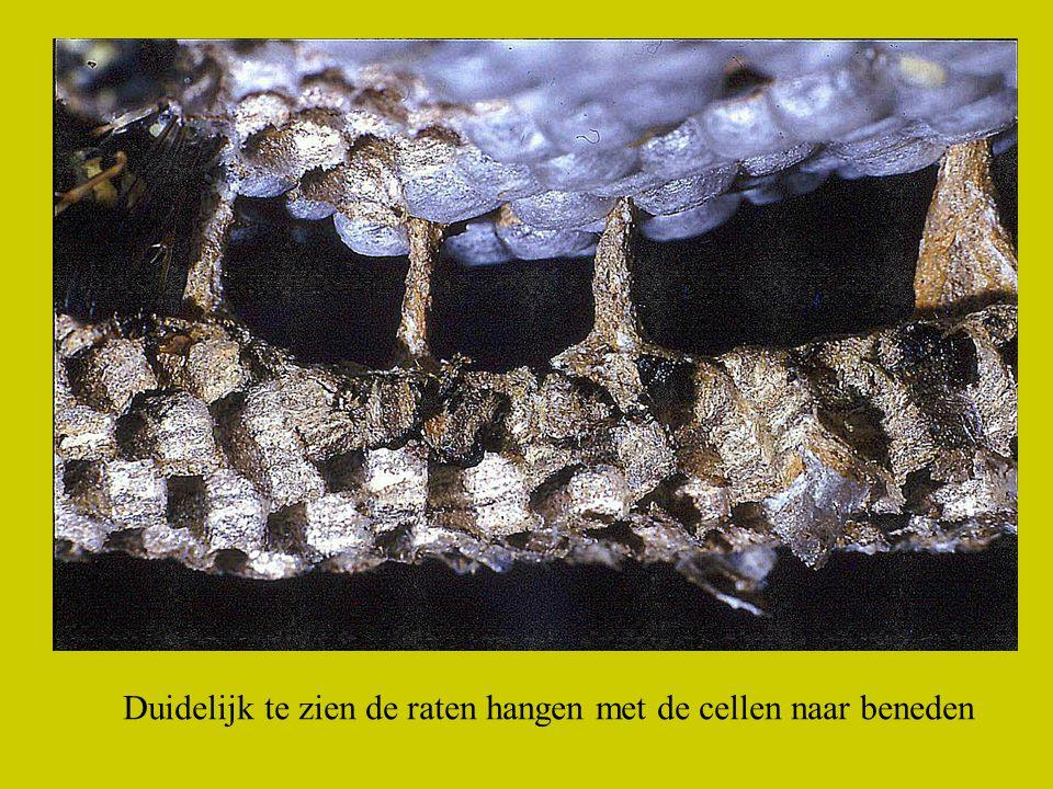 Duidelijk te zien de raten hangen met de cellen naar beneden