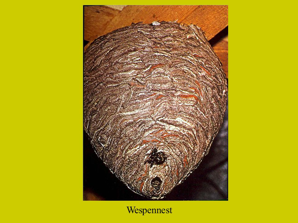 Wespennest