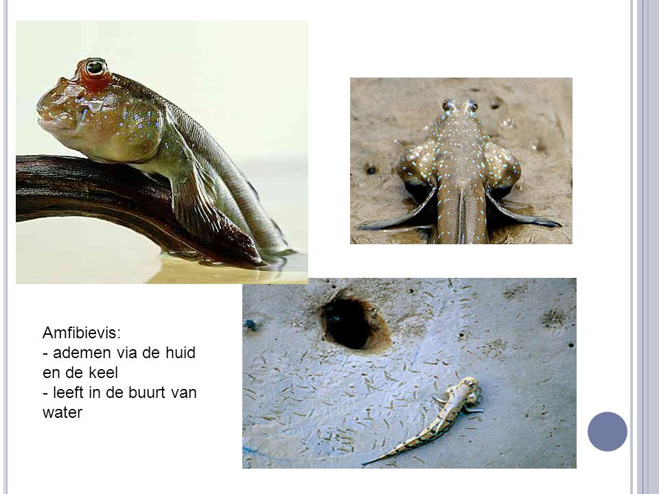 Amfibievis: - ademen via de huid en de keel - leeft in de buurt van water