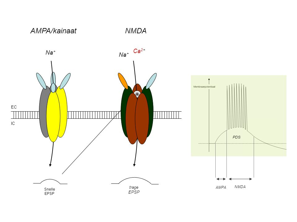 AMPA/kainaat NMDA Na+ Ca2+ Na+ AMPA NMDA EC IC trage EPSP Snelle EPSP